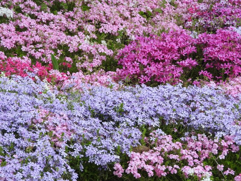 富士芝桜まつり2021はいつから?アクセス方法は?駐車料金、入場料も4