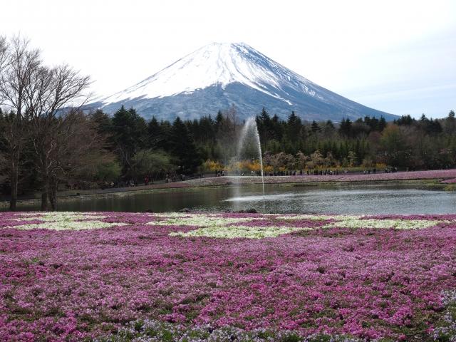 富士芝桜まつり2021はいつから?アクセス方法は?駐車料金、入場料も5